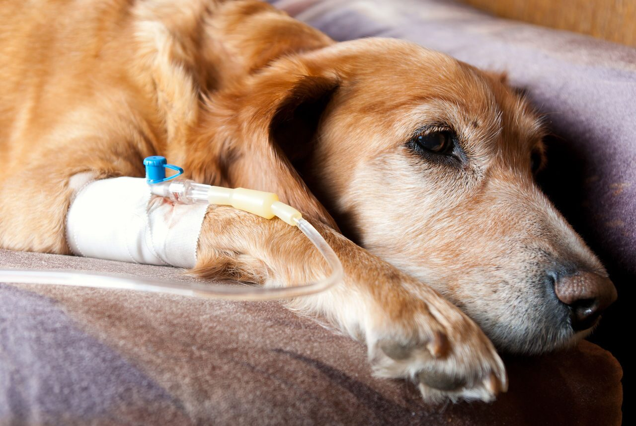 Intravenous catheter dog